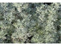 """Artemisia alba """" Canescens """" - pelyněk Zahradnictví Krulichovi - zahradnictví, květinářství, trvalky, skalničky, bylinky a koření Mediterranean Garden, Herb Garden, Herbs, Allium, Plants, Ideas, Pictures, Lawn And Garden, Herbs Garden"""