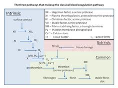A summary of the intrinsic and extrinsic pathways in the coagulation cascade; recent studies have found that additional reactions and clotting factors are involved in the pathways, but this diagram gives a general idea of the process Pa School, Medical School, School Nursing, School Notes, Coagulation Cascade, O Blood Type, Medical Laboratory Scientist, Biochemistry, Anatomy And Physiology