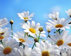 Beautiful daisies are waiting for you in this photo gallery. Daisy flowers are very natural. Maybe, they are not dazzling like other flowers. Flower Images Wallpapers, Flower Desktop Wallpaper, Summer Wallpaper, Wallpaper Pictures, Flower Backgrounds, Cool Wallpaper, Print Pictures, Wallpaper Backgrounds, Desktop Wallpapers