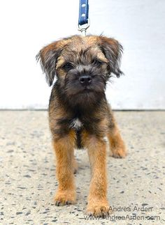 Owen | Border Terrier Puppy