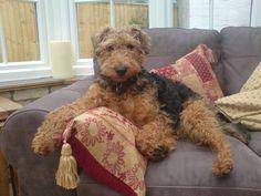 welsh terrier puppies -