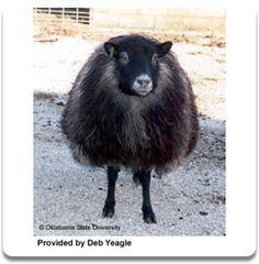 Canadian Shetland wool.