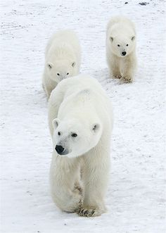 """Magical Nature Tour — redwingjohnny: """"After months of hibernation, a polar bear mom and her cubs awake, hungry and in desperate need of food. Feeding her cubs has become increasingly difficult because of global warming...."""