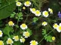Feverfew is a natural herbal remedy that can help relieve migraine headaches, arthritis inflammation. READ MORE @ www.organic4greenlivings.com