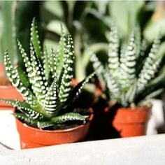 Zebra Cactus | 17 Incredible Houseplants You Need Right Now