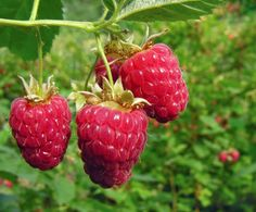 Tip to keep raspberries from spreading so much.  If you live in the Pacific Northwest and have room, you must grow raspberries. Talk about an easy thing to grow!    Raspberries love mild wi...
