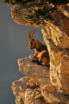 The Alpine ibex, Capra ibex , is a species of wild goat that lives in the European Alps.