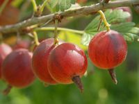 Jak prořezávat stromkový a keřový angrešt Garden Park, Edible Garden, Compost, Pergola, Flora, Berries, Fruit, Gardening, Plants