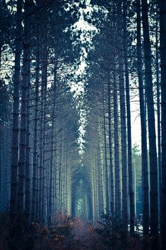 Landscape  - andother pine wood forest