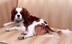 Rex, a Cavalier King Charles Spaniel, was a Reagan family dog.