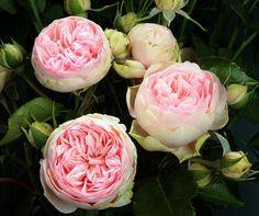 Bridal Piano Deluxe Garden Rose