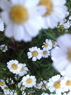 Mutterkraut Kraut, Plants, Medicinal Plants, Plant, Planting, Planets