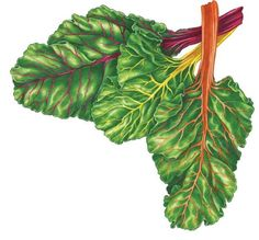 All About Growing Swiss Chard - Organic Gardening - MOTHER EARTH NEWS