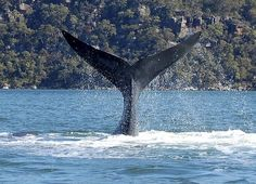 A southern right whale shows off in the Hawkesbury River.