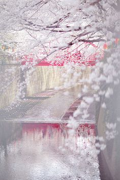 Cherry blossom, Meguro River, Tokyo, Japan. Amazing! I want to visit Japan soooooo bad! Maybe even study there in college!