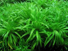 "Carpeting / Foreground Plant  : Syngonanthus ""Uaupes"" - Aquatic Plant Central . Pin by Aqua Poolkoh"