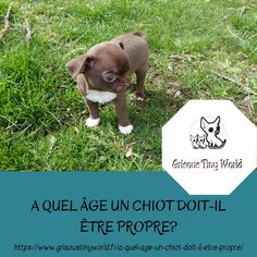 Caractère du Chihuahua - Grisous'Tiny World - Elevage de chihuahua LOF Le Chihuahua, Pitbulls, Puppies, Dogs, French Bulldog Puppies, Bulldog Puppies, Dog Breeds, Animaux, Dog Training Tips