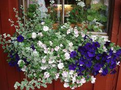 blommor balkonglåda - Sök på Google