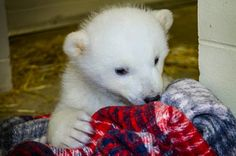 'Kali' The Orphaned Polar Bear Looking For A New Home (PICTURES)