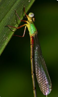 Sleeping damselfly