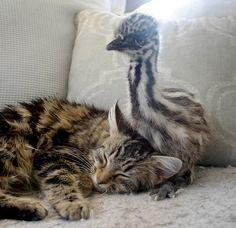 An 'emusing' friendship between a bird and cat | Stuff.co.nz