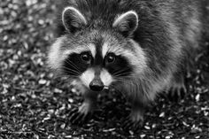 Racoon - Out taking pics of birds and this little guy comes around.