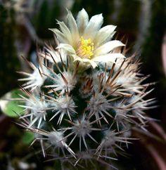 Cochiseia Robinsorum Cactus -