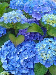 Hortensia kopen online. Hydrangea Forever&Ever Bleu winterhard.