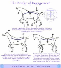 bridge of engagement unifies the horse's body in movement, and allows continuous and amplified transmission of the power generated by the haunches. Horse Exercises, Training Exercises, Horse Information, Horse Riding Tips, Horse Tips, Horse Anatomy, Horse Facts, Dressage Horses, Draft Horses