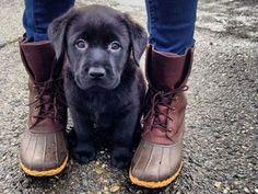 Mind Blowing Facts About Labrador Retrievers And Ideas. Amazing Facts About Labrador Retrievers And Ideas. Love My Dog, Animals And Pets, Baby Animals, Cute Animals, Funny Animals, Wild Animals, Best Dog Breeds, Best Dogs, Black Dogs Breeds