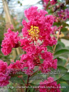 Lagerstroemia, Garden, Plants, Red, Garten, Lawn And Garden, Gardens, Plant, Gardening