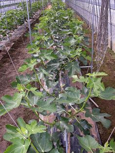 Stepover Figs Growing In An Is There Anything About S Agriculture That I Don T Love The Methods Of Seriously