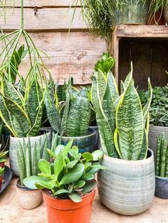 Snake plants contain the toxic compound Saponins which when swallowed and digested. Sansevieria can cause gastrointestinal irritation. This leads to nausea, vomiting, and diarrhea. It can also cause numbness of the tongue and swelling of the esophagus (if you are allergic). Houseplants Safe For Cats, Toxic Plants For Cats, Sansevieria Cylindrica, Sansevieria Plant, Succulent Gardening, Gardening Tips, Snake Plant Care, Types Of Snake, Natural Insecticide