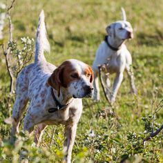 Exceptional Pointers detail is available on our internet site. Check it out and you will not be sorry you did. Pointer Puppies, Pointer Dog, Quail Hunting, Hunting Dogs, Purebred Dogs, Losing A Dog, Family Dogs, Training Your Dog, Dog Owners