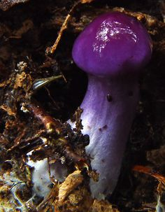 Cortinarius iodes