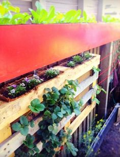 The vertical garden elements are taking shape in our small kitchen garden at The Urban Farmhouse. 3 types of heirloom lettuce are coming on strong up top; oakleaf, rabbits ears & coral trout.   The Alyssum for companion planting with the strawberries are attracting pollinators like native bees. And the Cucumber tendrils are growing towards the red nylon cord they'll be trained further down the fence along. #urbanfarmhouseau