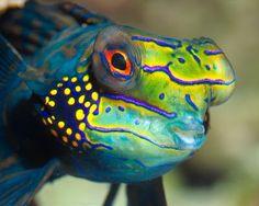 Desktop wallpapers Mandarin fish face - pictures in high quality and resolution Colorful Fish, Tropical Fish, Reptiles, Vertebrates And Invertebrates, Mandarin Fish, Life Under The Sea, Sea Dweller, Deep Blue Sea, Ocean Creatures
