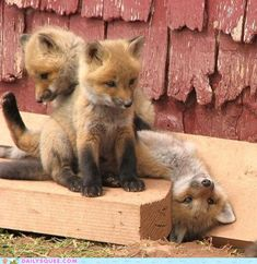 Cute fox pups
