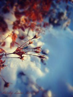 winter loosestrife