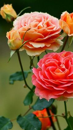 David Austin rose.... (Have their catalog, need to find which ones to get)