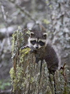 Young Raccoon in an Old Stump, Bozeman, Montana, USA Photographic Print by James Hager at AllPosters.com