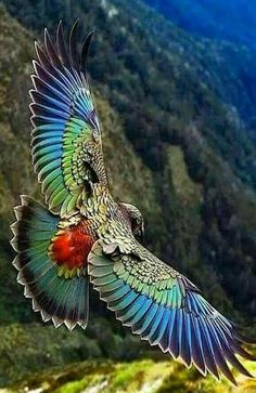 """""""The kea is a large species of parrot  found in forested and alpine regions of the South Island of New Zealand."""""""