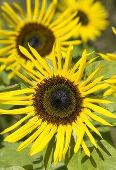 "Sunflowers ""Stella Gold"""