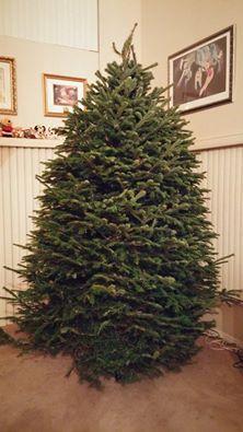 ac43b45f7fb 8.5 -9  Nordmann Fir Christmas Tree 9 Foot Christmas Tree