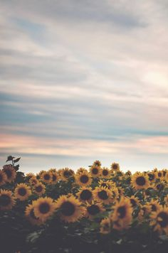 to stand in a field of sunflowers. this shouldn't be too hard being from kansasland and all...