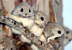 flying squirrel family!