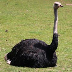 Northern Ostrich female