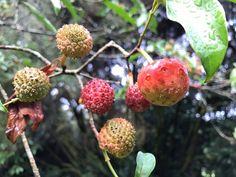 Cornus capitata Strawberry, Fruit, Strawberry Fruit, Strawberries, Strawberry Plant
