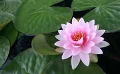 Note to Readers: if you're looking for lotus flower images, go here. The lotus seed starts in the muck at the bottom of a pond. As it grows and reaches the surface, a beautiful lotus flower b… Lotus Flower Wallpaper, Lotus Flower Images, Lily Wallpaper, White Lotus Flower, Pink Lotus, Wallpaper Gallery, Wallpaper Wallpapers, Computer Wallpaper, Photo Wallpaper