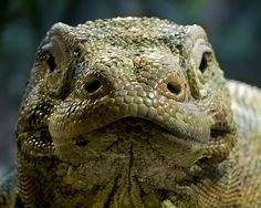 The Komodo dragon. Found on one or two islands off the coast of Indonesia. Highly poisonous bite. One of my favourite lizards—giant lizards!